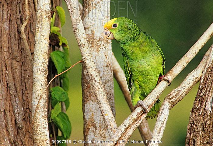 Yellow headed amazon parrot (Amazona oratrix) juvenile, Tamaulipas, northeast Mexico, June  -  Claudio Contreras/ npl
