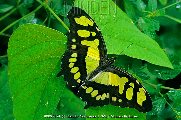 Malachite butterfly (Siproeta stelenes) El Cielo Biosphere Reserve, Tamaulipas, northeast Mexico, November  -  Claudio Contreras/ npl