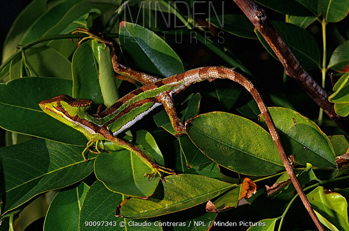 Serrated casquehead iguana (Laemanctus serratus) camouflaged amongst leaves, Puerto Morelos, Yucatan Peninsula, Mexico, January  -  Claudio Contreras/ npl