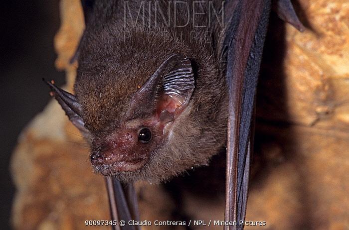 Lesser doglike sac-winged bat (Peropteryx macrotis) roosting, Uxmal, Yucatan Peninsula, Mexico, January  -  Claudio Contreras/ npl
