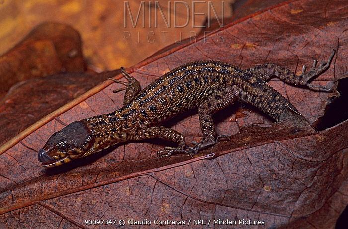Pajapan tropical night-lizard (Lepidophyma pajapanensis) camouflaged on fallen rainforest leaf, Los Tuxtlas Biosphere Reserve, Mexico, August  -  Claudio Contreras/ npl