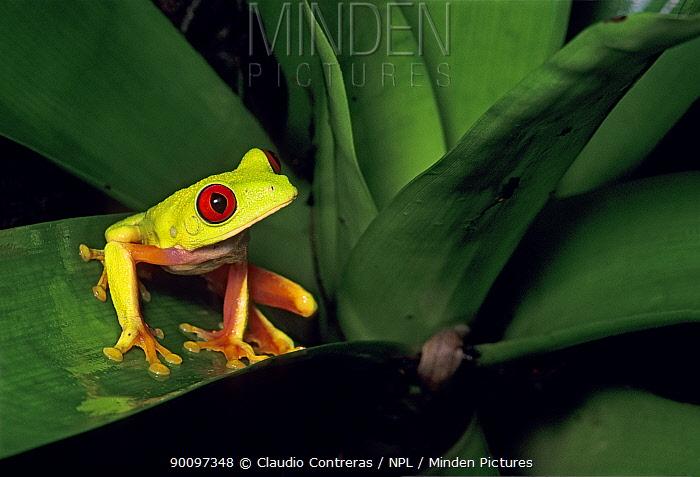 Red-eyed treefrog (Agalychnis callidryas) sitting on bromeliad leaf in rainforest, Los Tuxtlas Biosphere Reserve, Mexico, August  -  Claudio Contreras/ npl