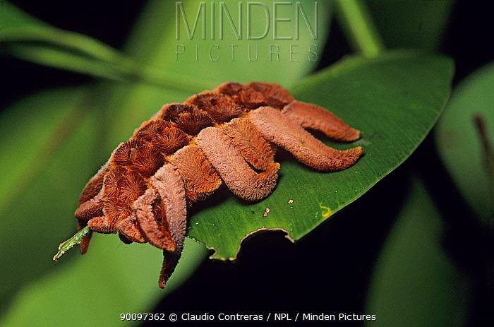 Caterpillar larva of the Hag moth (Phobetron sp) Montes Azules Biosphere Reserve, Lacandon Rainforest, Mexico, August  -  Claudio Contreras/ npl