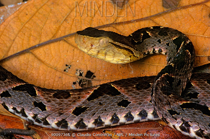 Fer de lance, Central american lancehead (Bothrops asper) in defense posture, Montes Azules Biosphere Reserve, Lacandon Rainforest, Mexico, September  -  Claudio Contreras/ npl