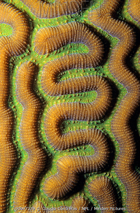 Symmetrical brain coral close-up (Diploria strigosa) Banco Chinchorro Biosphere Reserve, Caribbean Sea, Mexico, April  -  Claudio Contreras/ npl