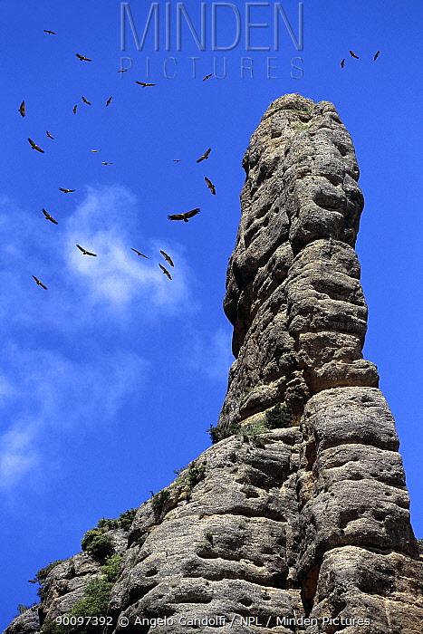 Griffon Vultures (Gyps fulvus) soaring at midday on thermals, circling over Vadiello cliffs, Sierra de Guara, Aragon, Spain  -  Angelo Gandolfi/ npl