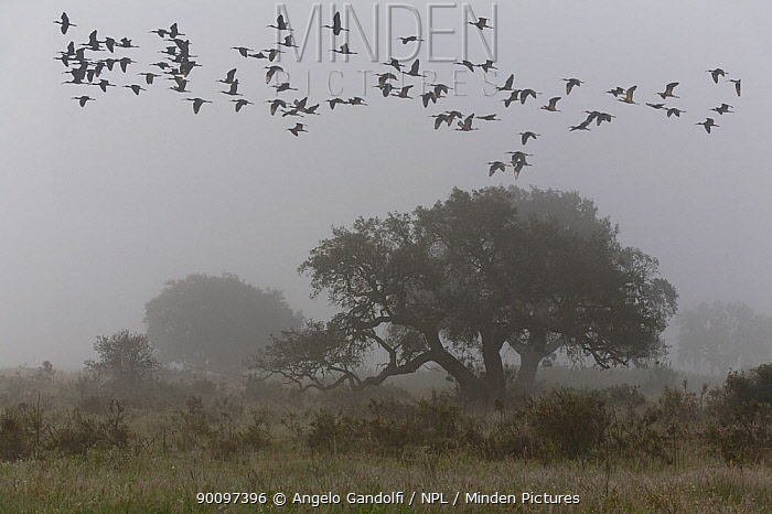 Glossy Ibis (Plegadis falcinellus) flock flying over a Cork Oak tree (Quercus ruber), Coto del Rey area, Coto Donyana National Park, Andalusia, Spain Probably overwintering during migration  -  Angelo Gandolfi/ npl