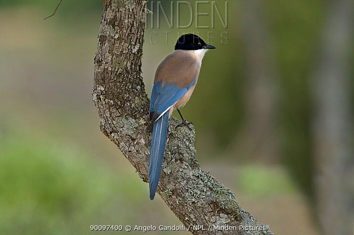 Azure-winged Magpie (Cyanopica cyana) Coto Donyana National Park, Andalusia, Spain  -  Angelo Gandolfi/ npl