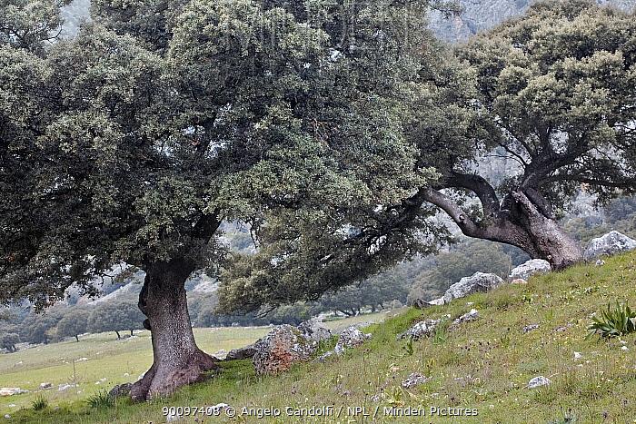 Holm Oak trees (Quercus ilex) in Sierra de Grazalema Natural Park, Andalusia, Spain  -  Angelo Gandolfi/ npl