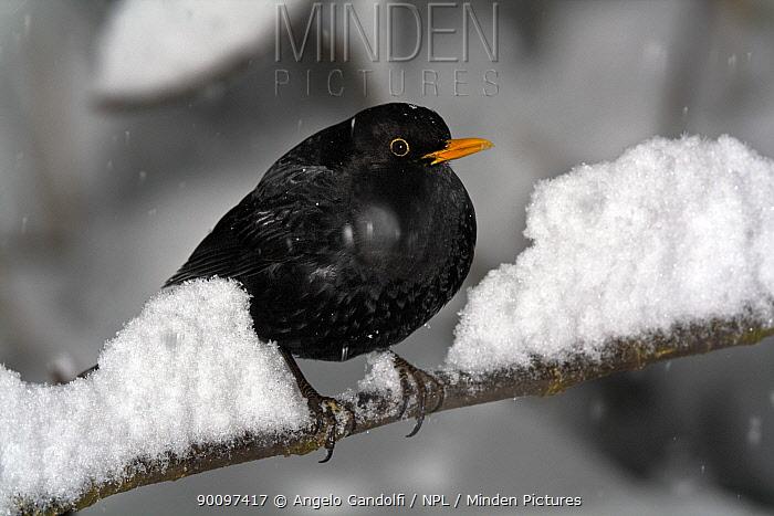 Blackbird (Turdus merula) perched on snowy branch Piemonte, Italy, January  -  Angelo Gandolfi/ npl