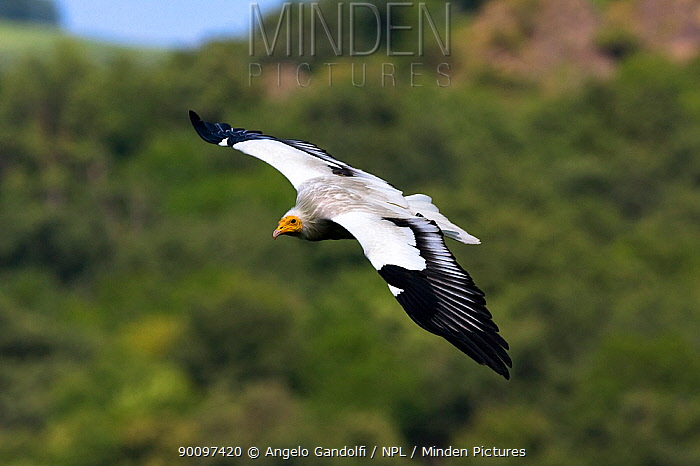Egyptian vulture (Neophron percnopterus) in flight, Picos de Europa National Park, Cantabria, Spain  -  Angelo Gandolfi/ npl