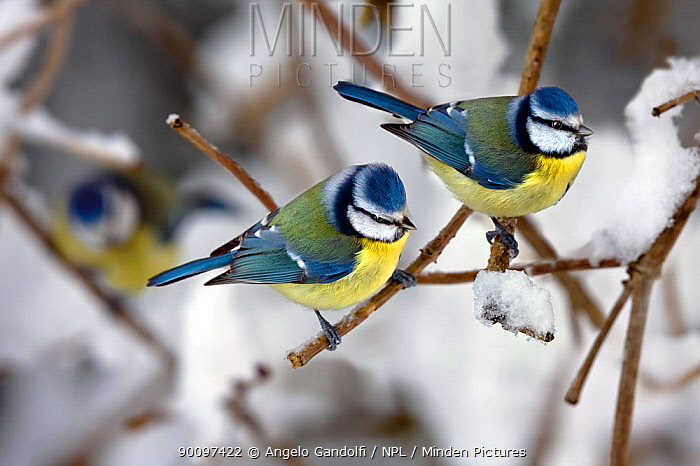 Blue Tits (Parus caeruleus) on branches during snowfall Piemonte, Italy, January  -  Angelo Gandolfi/ npl