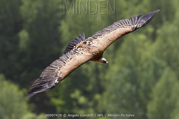 Griffon Vulture (Gyps fulvus) in flight over trees Canyon del Rio Lobos, Castilla y Leon, Spain  -  Angelo Gandolfi/ npl