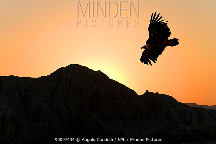 Griffon vulture (Gyps fulvus) flying at sunset, Spain  -  Angelo Gandolfi/ npl