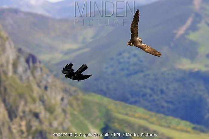 Peregrine Falcon (Falco peregrinus) hunting Alpine Chough (Pyrrhocorax graculus) Pyrenees, Aragon, Spain  -  Angelo Gandolfi/ npl