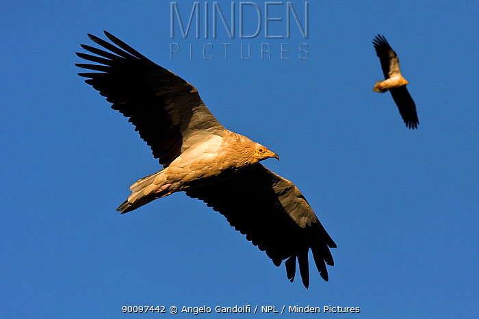 Pair of Egyptian vultures (Neophron percnopterus) hunting, Spain  -  Angelo Gandolfi/ npl