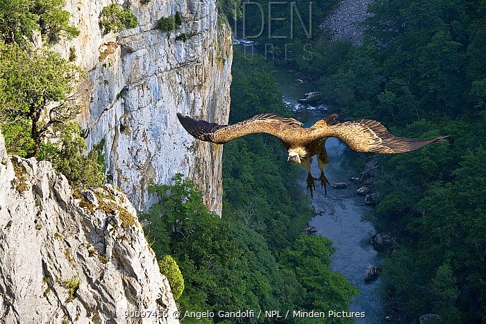 Griffon Vulture (Gyps fulvus) landing on cliff at Hoz de Arbayun canyon, Pyrenees, Navarra, Spain  -  Angelo Gandolfi/ npl
