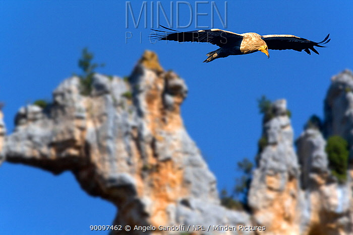 Egyptian vulture (Neophron percnopterus) in flight, with natural rock arch in the background Canyon del Ebro and Rudron, Castilla y Leon, Spain  -  Angelo Gandolfi/ npl