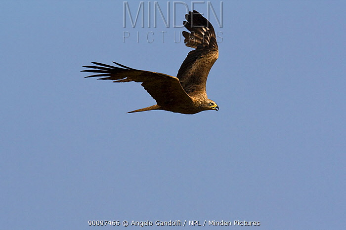 Black Kite (Milvus migrans) in flight, Canyon del Ebro y Rudron, Castilla y Leon, Spain  -  Angelo Gandolfi/ npl