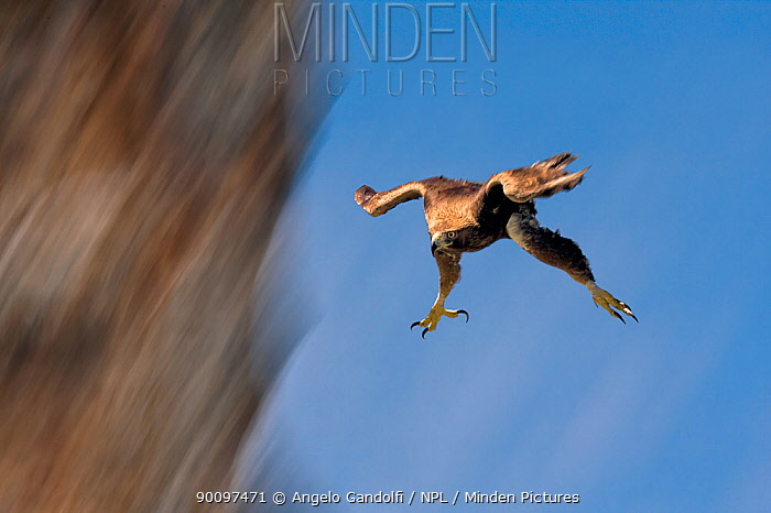Golden Eagle (Aquila chrysaetos) swooping with folded wings and extended tallons Canyon del Ebro y Rudron, Castilla y Leon, Spain  -  Angelo Gandolfi/ npl
