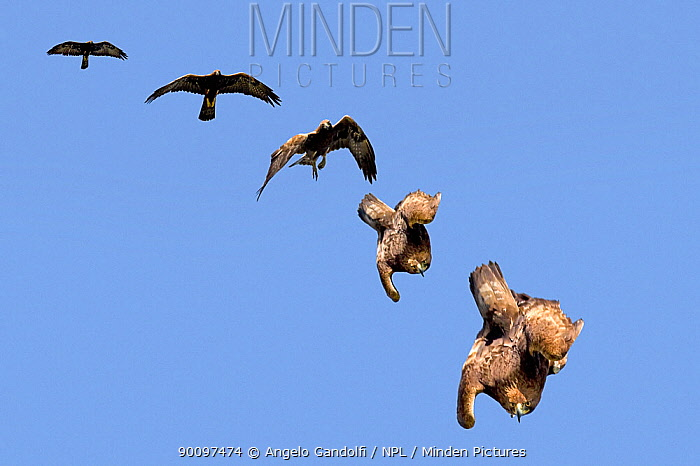 Golden Eagle (Aquila chrysaetos) swooping The sequence of folding wings to gain speed Canyon del Ebro y Rudron, Castilla y Leon, Spain COMPOSITE IMAGE  -  Angelo Gandolfi/ npl