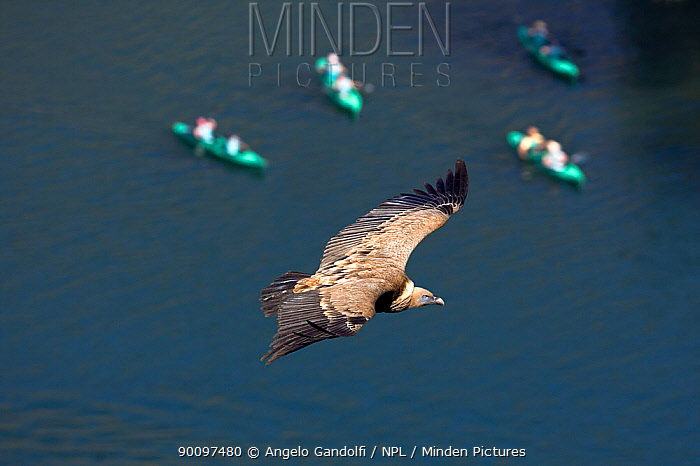 Griffon vulture (Gyps fulvus) flying over canoeists River and Canyon of Duraton, Castilla y Leon, Spain June 2008  -  Angelo Gandolfi/ npl