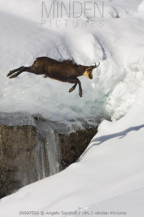 Chamois (Rupicapra rupicapra) jumping over crevasse in the snow, Abruzzo National Park, Italy  -  Angelo Gandolfi/ npl