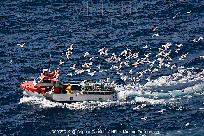 Trawler followed by Yellow-legged Gulls (Larus cachinnans michahellis), Galicia, Spain July 2008  -  Angelo Gandolfi/ npl