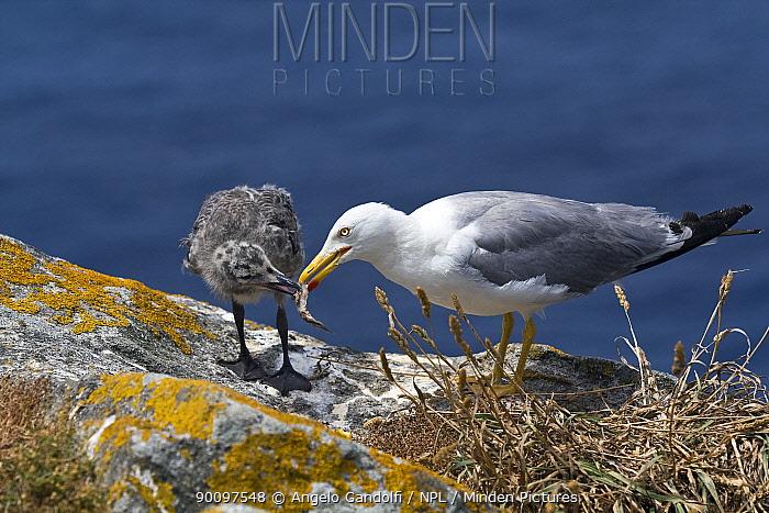 Yellow-legged Gull (Larus cachinnans michahellis) feeding young, Galicia, Spain  -  Angelo Gandolfi/ npl