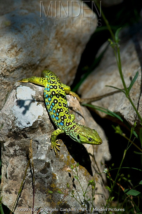 Ocellated Lizard (Lacerta lepida) on rock, Spain  -  Angelo Gandolfi/ npl