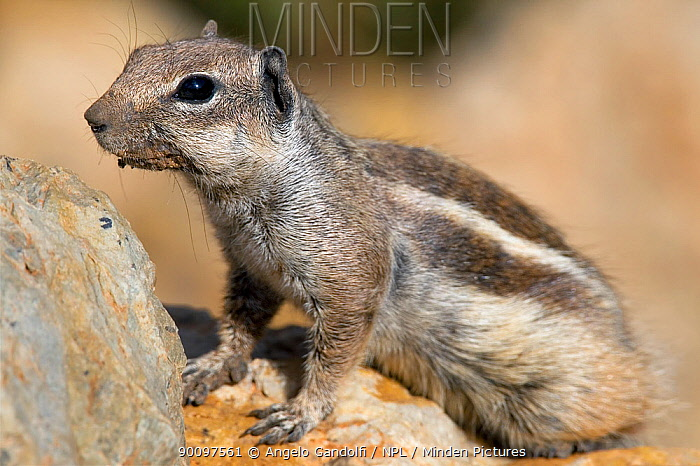 Barbary Ground Squirrel (Atlantoxerus getulus), Morocco  -  Angelo Gandolfi/ npl