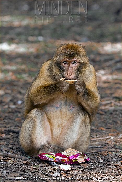 Barbary ape (Macaca sylvanus) eating trash food, Ifrane Nature Reserve, Middle Atlas Mountains, Morocco  -  Angelo Gandolfi/ npl