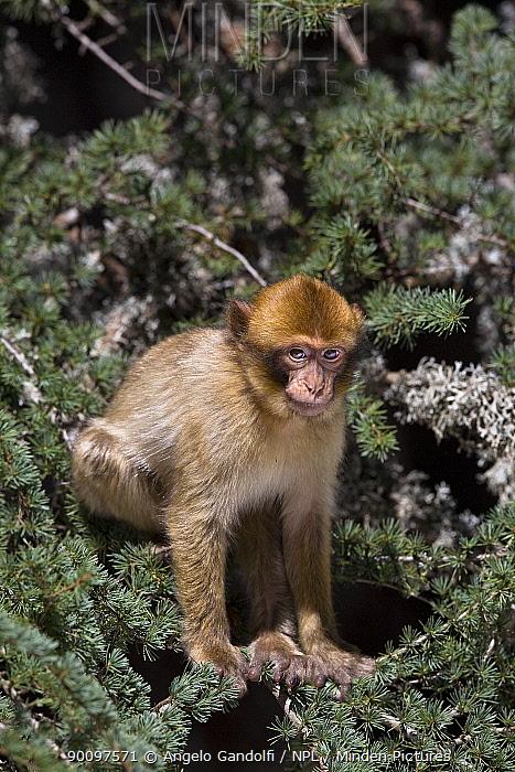 Barbary ape (Macaca sylvanus) juvenile in Atlas cedar trees, Ifrane Nature Reserve, Middle Atlas Mountains, Morocco  -  Angelo Gandolfi/ npl