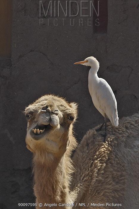Cattle egret (Bubulcus ibis) on back of Dromedary camel (Camelus dromedarius), Morocco  -  Angelo Gandolfi/ npl