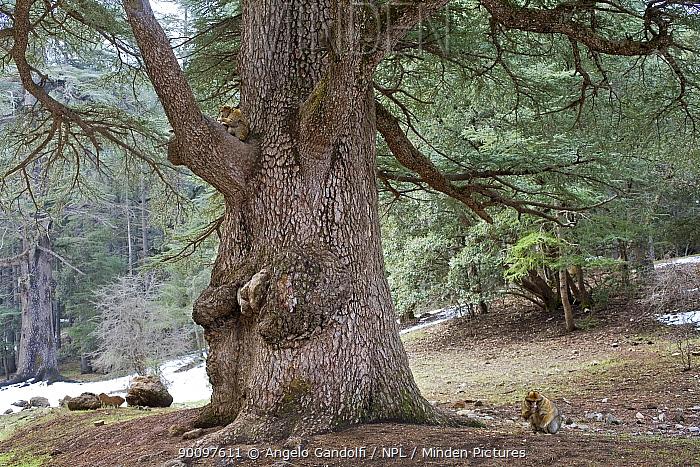 Barbary Ape (Macaca sylvanus) and Atlas cedar tree (Cedrus atlantica) in the Middle Atlas, Morocco  -  Angelo Gandolfi/ npl