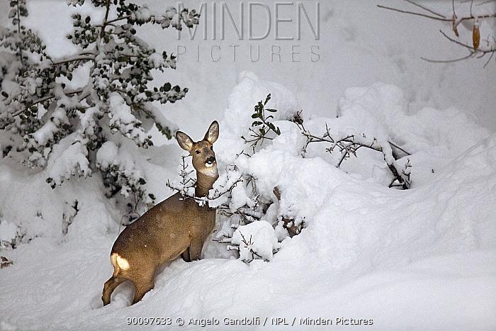 Roe Deer (Capreolus capreolus) in deep snow Piemonte, Italy  -  Angelo Gandolfi/ npl