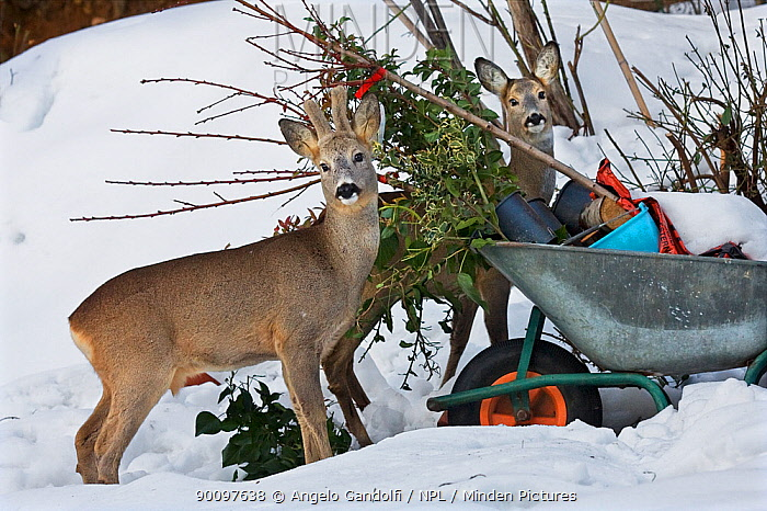 Roe deer (Capreolus capreolus) investigating evergreen clippings left in wheelbarrow in suburban garden Male left, female right Piemonte, Italy  -  Angelo Gandolfi/ npl