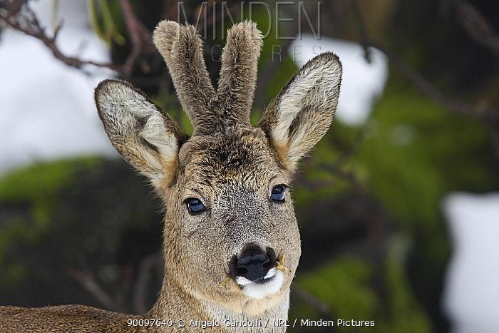 Roe deer (Capreolus capreolus) buck, with growing antlers in velvet Piemonte, Italy  -  Angelo Gandolfi/ npl