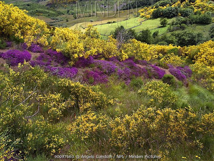 Spanish Broom (Spartium junceum) and Heather (Calluna vulgaris), Puerto de Somiedo, Somiedo Natural Reserve, Spain  -  Angelo Gandolfi/ npl