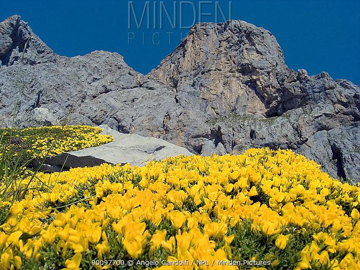 Yellow flowers (Echinospartum horridum), Picos de Europa National Park, Cantabria, Spain July 2008  -  Angelo Gandolfi/ npl