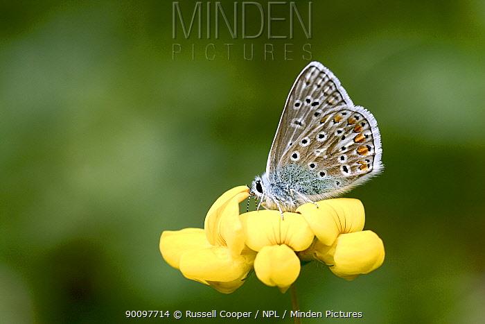 Common Blue Butterfly (Polyommatus icarus) resting on larval foodplant, Bird's-foot-trefoil (Lotus cornicultus) London UK  -  Russell Cooper/ npl