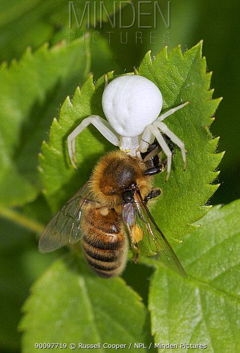 Flower, Goldenrod spider (Misumena vatia) feeding on Honey Bee (Apis mellifera) London, UK  -  Russell Cooper/ npl