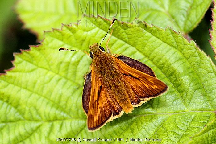 Large Skipper Butterfly (Ochlodes venatus) resting on leaf, London, UK  -  Russell Cooper/ npl