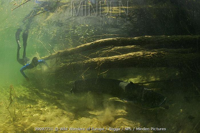 Diver near a very large Wels (Silurus glanis) Rio Ebro, Spain, May 2007  -  WWE/ Roggo/ npl