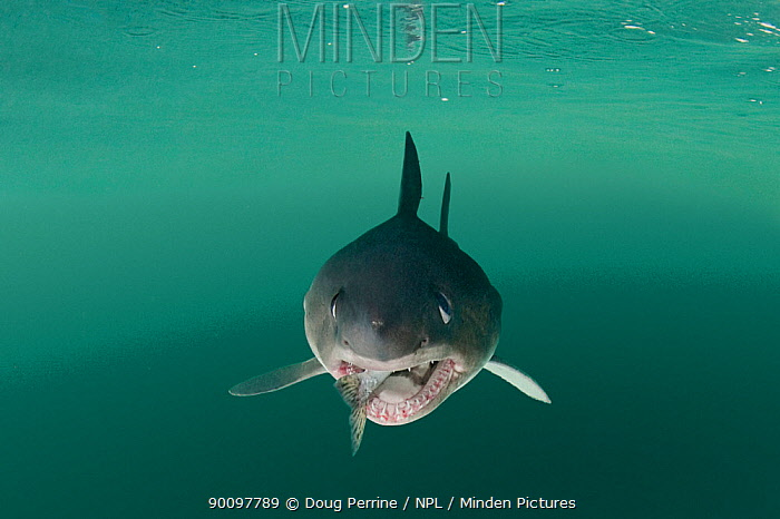 Salmon shark (Lamna ditropis) captive, with salmon in mouth, Prince William Sound, Alaska, USA (digitally modified)  -  Doug Perrine/ npl