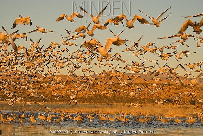 Snow geese (Anser caerulescens) flock in flight over water, Bosque del Apache National Wildlife Refuge, New Mexico, USA  -  Steven Kazlowski/ npl