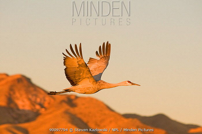 Sandhill crane (Grus canadensis) in flight, with mountains in the background Bosque del Apache National Wildlife Refuge, New Mexico, USA  -  Steven Kazlowski/ npl
