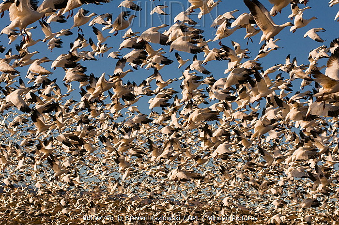 Thousands of migratory snow geese (Anser caerulescens) in flight, wintering in Bosque del Apache National Wildlife Refuge, New Mexico, USA  -  Steven Kazlowski/ npl