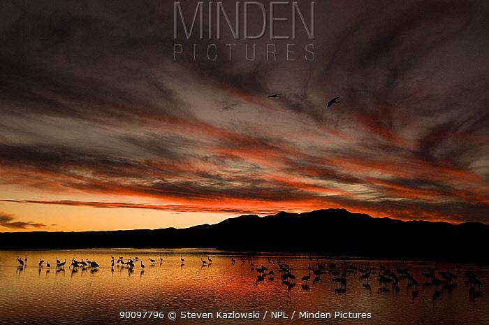 Sandhill cranes (Grus canadensis) flock standing in lake at sunset, Bosque del Apache National Wildlife Refuge, New Mexico, USA  -  Steven Kazlowski/ npl