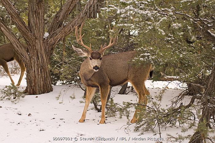 Mule deer (Odocoileus hemionus) large bull on the south rim of the Grand Canyon in snow Grand Canyon National Park, Arizona, USA  -  Steven Kazlowski/ npl